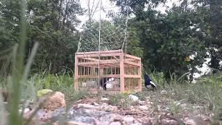 Download Jebak burung kacer mantap bro Video