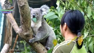 Download 20170415 保育員姐姐超有愛接無尾熊下班 The Koala - Q妹、奇奇、Grace Video