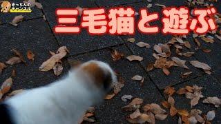 Download 【野良猫】三毛猫と遊ぶ【地域猫】 Video