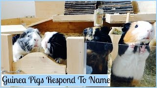 Download How to Teach Your Guinea Pigs Their Name Video