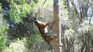 Download Sumatran Tiger Climbs 4-5 Metre Pole to Eat Dinner Video