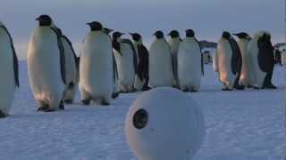Download Robot Snowballcam confuses Emperor Penguins Video