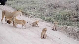 Download Lion cubs roaring. Video