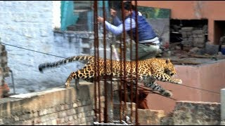 Download Leopard Sighted In Chiang Mai Streets After Escaping From The Zoo! Video