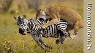 Download Lion Hunting Zebra on the Masai Mara   CLASSIC WILDLIFE Video