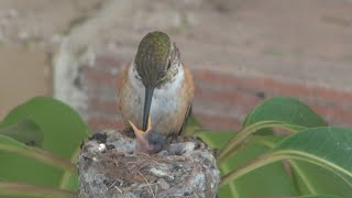 Download Baby hummingbirds life cycle from start to finish. Must see! Awesome! Video