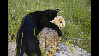 Download Owl's Unusually Close Friendship With A Cat Has Animal Researchers Scratching Their Heads Video