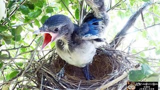 Download Scrub Jay Nest: Series Finale Highlights May 2 - 15, 2015 V18592 Video
