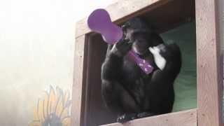Download jamie chimpanzee and her ukulele Video