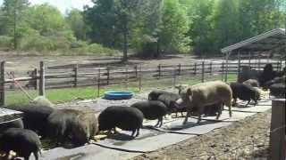 Download Feeding the Pigs at Rooterville: Part I Video