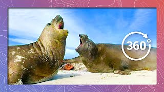Download Elephant Seal Fight | Wildlife In 360 VR Video