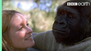 Download Did you know there's a talking gorilla? - #TalkingGorilla - BBC Video