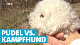 Download Pudel kämpft gegen Kampfhund um Kinder zu retten   SWR   Landesschau Rheinland-Pfalz Video