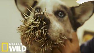 Download Un chien attaqué par un porc-épic Video