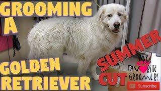 Download Golden Retriever Cute Summer Haircut Video