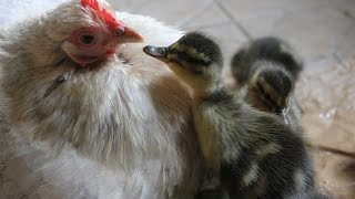 Download Duckling Disaster. Duck deserts so hens hatch eggs. Patitos eclosión con gallina. Canetons éclosion Video