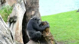Download Chimpancés en BIOPARC Valencia Video