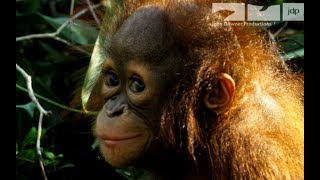 Download Robotic Spy Orangutan Meets Real Orangutans For The First Time Video