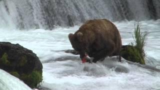 Download Brown Bears Fishing at Brooks Falls, Alaska Video