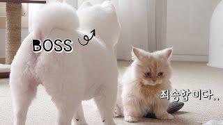 Download (ENG sub)강아지에게 참교육 당하는 고양이 ft. 곰돌이컷 포메라니안 먼치킨 캣초딩 아기고양이 puppy kitten 犬 猫 4K Video