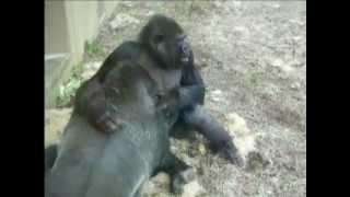 Download Gorilla love Video