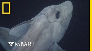 Download Ghost Shark Caught on Camera for the First Time | National Geographic Video