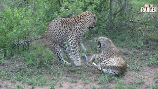 Download WILDlife: Female Leopard Giving Mixed Signals To A Male Video