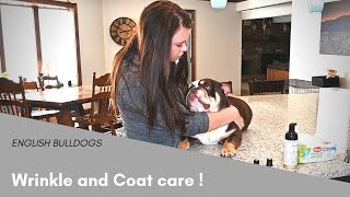 Download How to Clean an English Bulldogs Wrinkles - Tips and Tricks Video