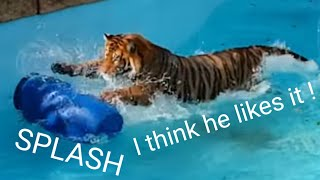Download Tiger's reaction to the perfect tiger toy! Video
