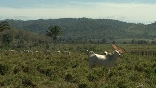 Download Cattle-ranching: biggest threat to Amazon rainforest Video