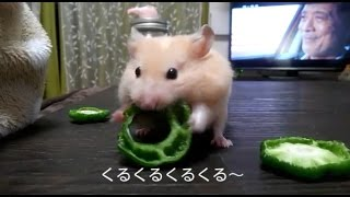 Download ピーマンの食べ方がめっちゃ速い!おもしろ可愛いハムスターHow to eat green pepper is an intense hamster Video