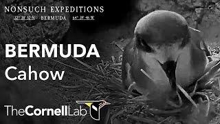 Download Bermuda Cahow Cam Video