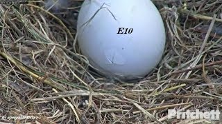 Download SWFL Eagles~ 12.26.17 ~ E10 Eaglet, The Rising: Crack In Process, PIP & First View! Video