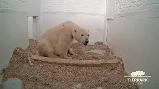 Download Baby-Eisbär sucht Mamas Nähe - Polar bear cub needs plenty of cuddles Video