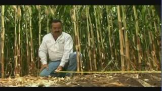 Download Validación de métodos de siembra para alta productividad de maíz en el norte de Sinaloa (3/4) Video