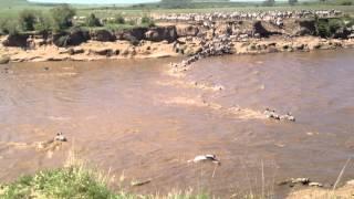 Download Crocodiles Attack Zebras Crossing the Mara River | Kenya Video