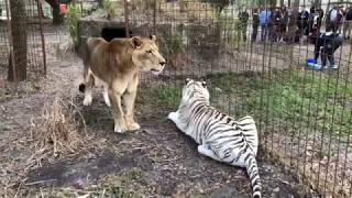 Download Lynda Feeds Tigers Kathryn Feeds Lion Video