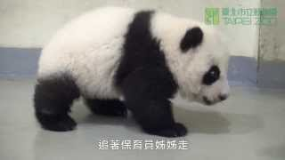 Download 好動的圓仔 The Energetic Giant Panda Cub Yuan Zai (English Subtitle Available) Video