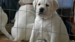 Download Lab Puppies For Sale Video