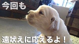 Download 【レポート】仔犬がヨチヨチ歩くようになりました! Video