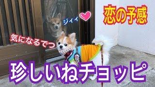 Download 他の犬に興味を示すことが殆どないチワワが意外な行動に。 Video