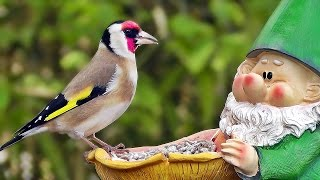 Download Garden Birds - Gartenvögel - Oiseaux de Jardin - Tuinvogels - Trädgårdsfåglar Video