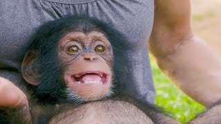 Download The Baby Chimp With A Huge Smile | BBC Earth Video