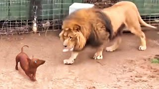Download They Let a Dog in a Lion's Cage. What Happened Then Shocked Everyone Video