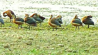 Download Calls and Landing of lesser whistling teal Duck or Dendrocygna javanica Video