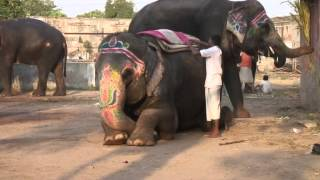 Download Mahouts the elephant people Video
