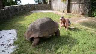 Download Tortue géante - Giant turtle - Madagascar - 1/2 Video