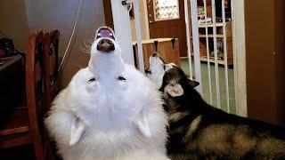 Download Toddler Puts Tonka & Monroe In Timeout.....................lol Video