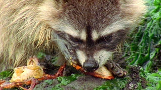 Download Raccoon Vs Rock Crab - Blue Planet - BBC Earth Video