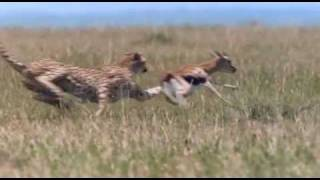 Download African Cats - Cheetah Hunting Video